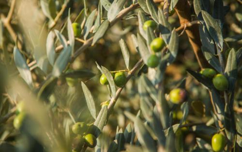Le olive per Olio Extra Vergine D'Oliva